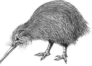 5.Oiseau Kiwi.jpg
